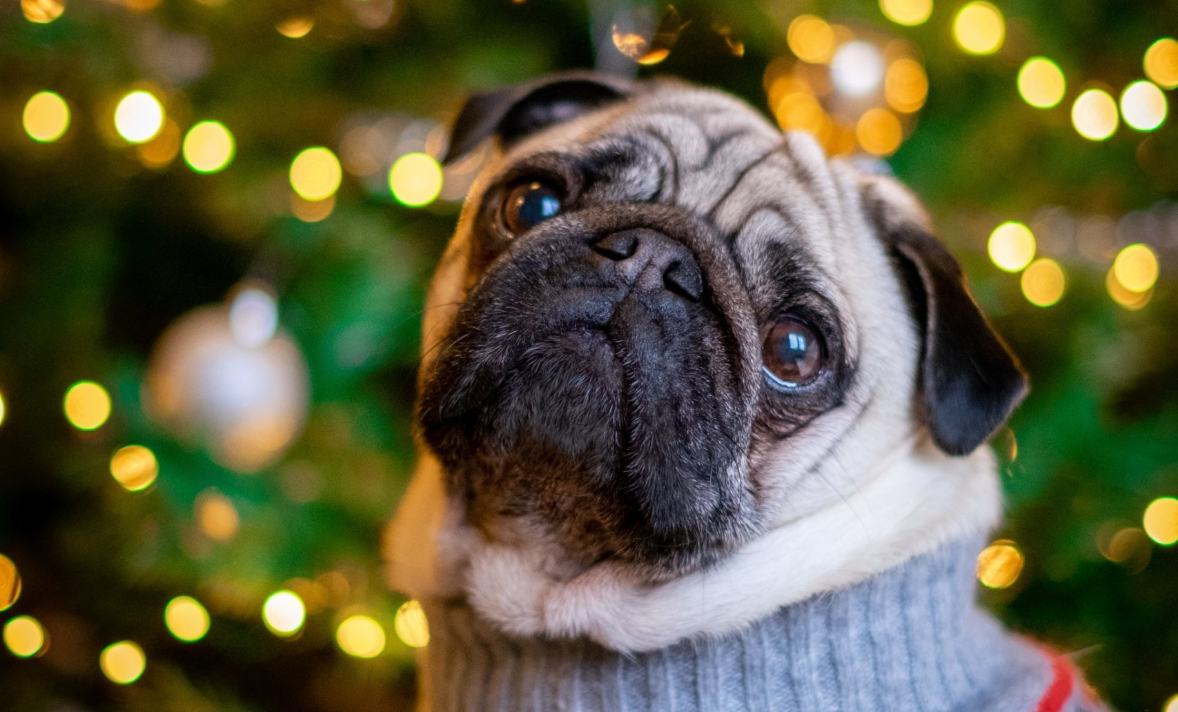 Pug in a sweater in front of a Christmas tree | Pet Photos with Santa