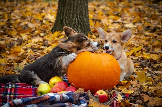 two Corgi dogs posing with pumpkin