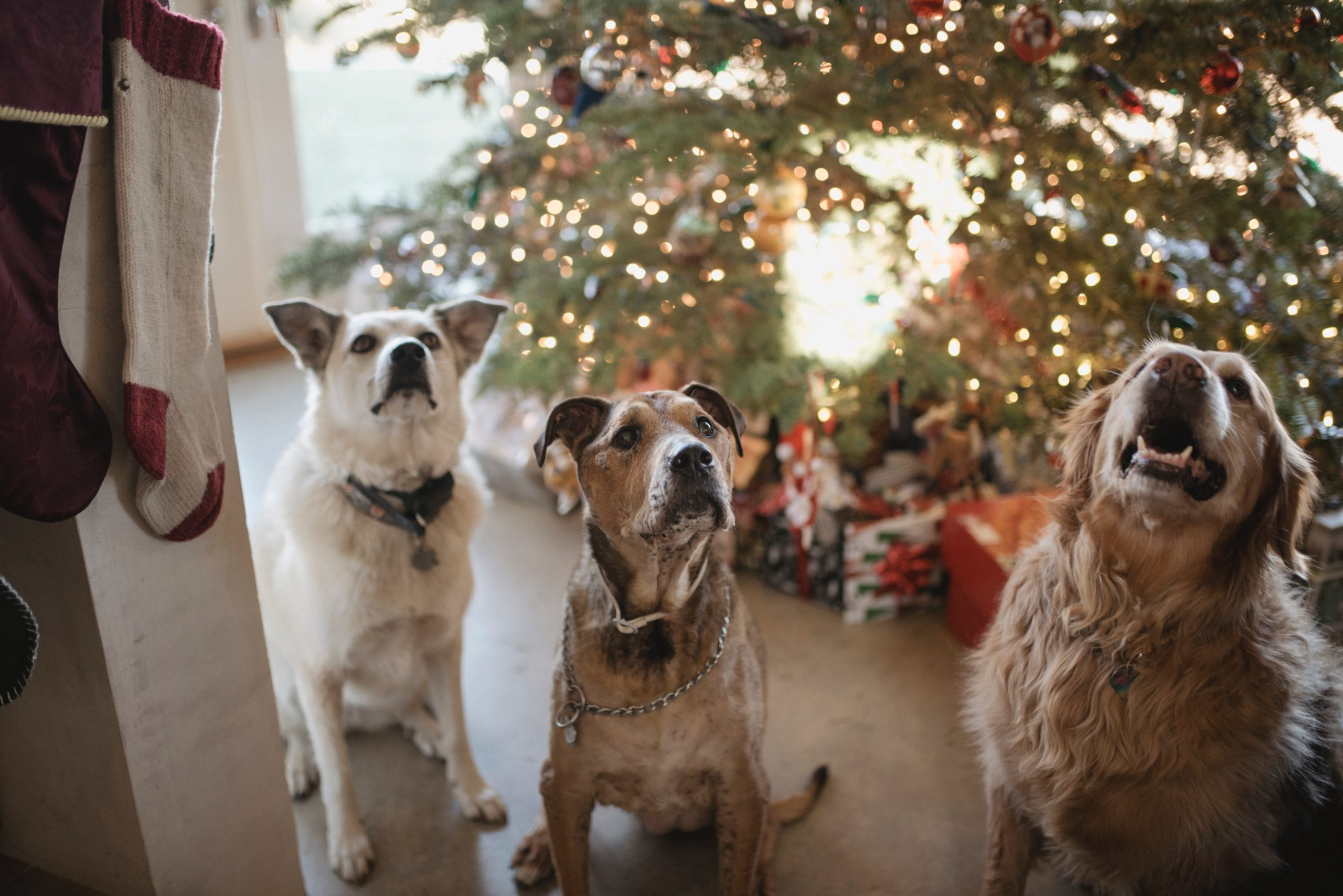 3 happy dogs standing in front of a Christmas tree | Holiday movies with dogs