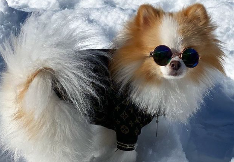 small dog wearing coat and sunglasses for dog-friendly Colorado ski resorts article