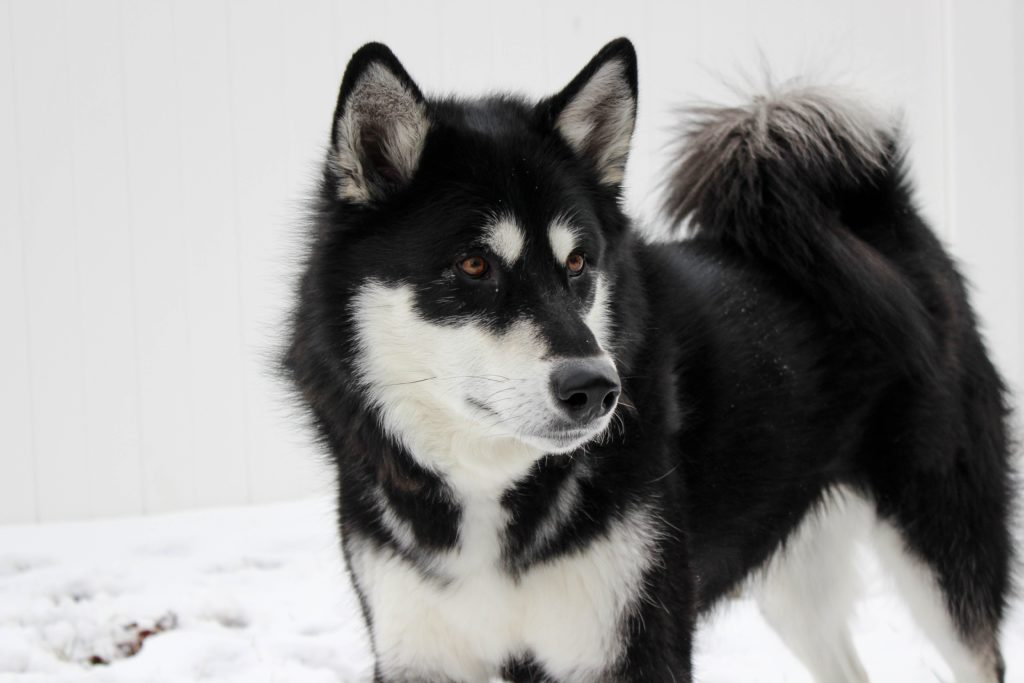 Alaskan Malamute - cold weather dogs