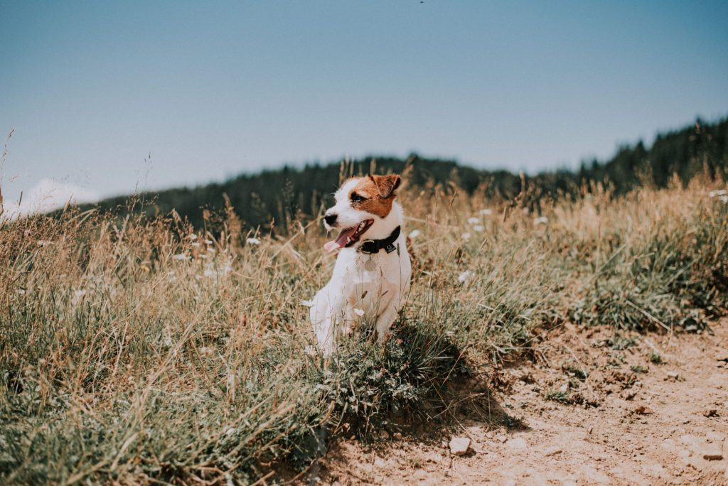 Jack Russell Terrier posing outdoors for Seattle-area dog rescues article
