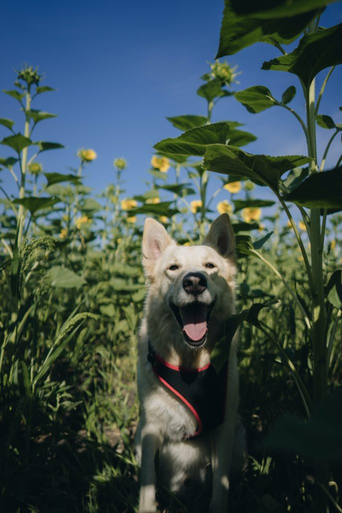 dog in sunflowers