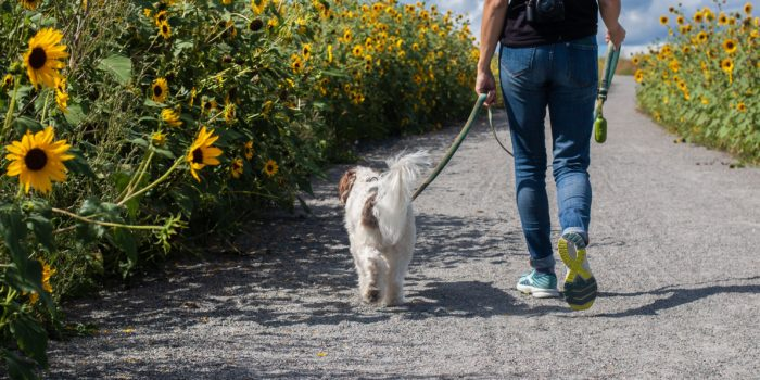 Person and dog walking in along sunflower field